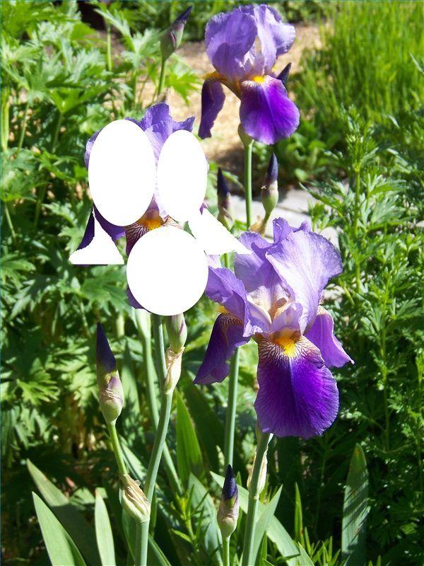 Hoe teken je Iris bloemen - wikisailor.com