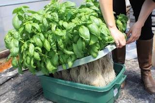 basil grown in a hydroponic setup Flowerpot