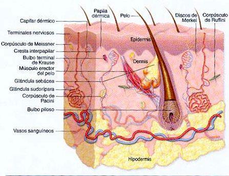 11 best Sistema Tegumentario/ Piel images on Pinterest   Medicine ...