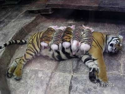if the story is true, the mother tiger lost her litter of cubs and became depressed, so the zoo gave her orphaned piglets. darling.The Zoo