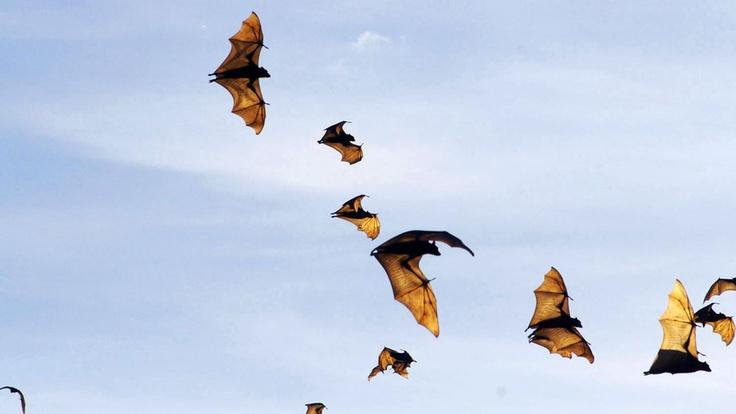 Morcegos com o nome de Raposas voadoras