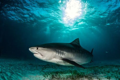 Movies like Jaws and Deep Blue Sea have made people afraid of Great White Sharks. Such films, along with misinformed people, have built these beautiful creatures up as malicious, man-eating beasts who have nothing better to do than wait for a vulnerable person to swim by before snatching one up to enjoy as a lycra-covered snack of flesh and blood