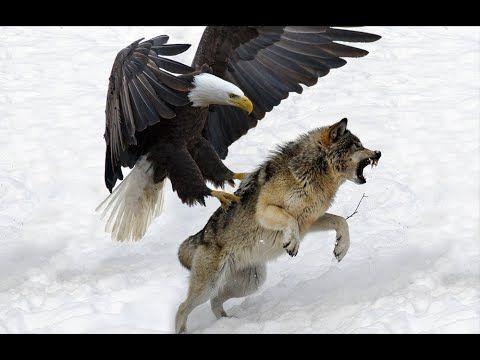 7 Serangan Burung Elang Terbesar di Dunia   Elang vs Beruang vs Rubah vs...