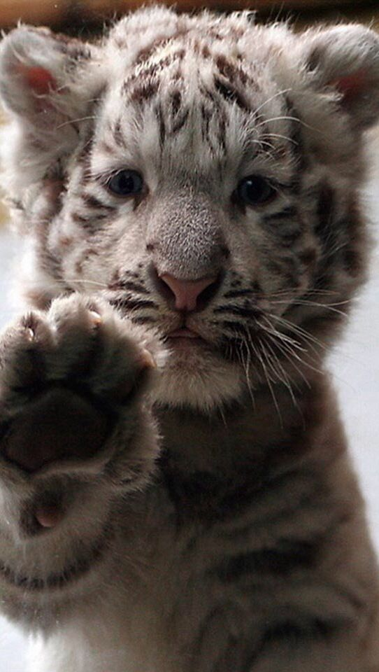 Siberian tiger cub up against the glass with her paw up ... Cute Siberian Tiger Cubs