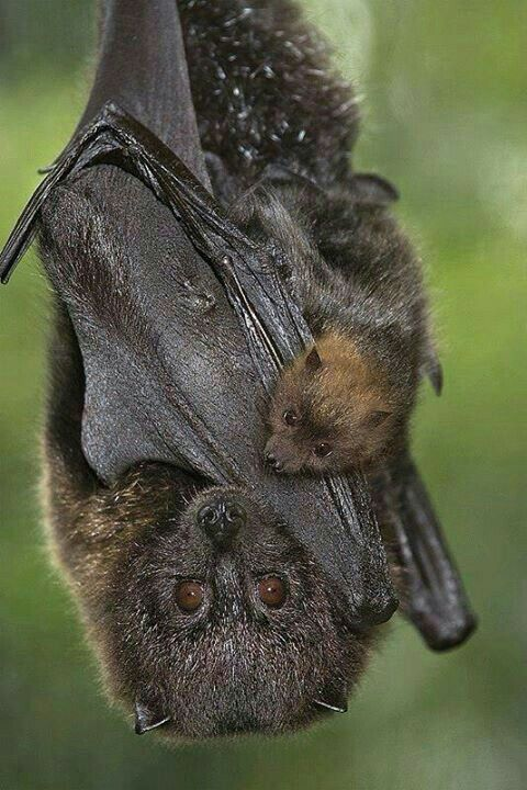 Mother Bat and Her Baby