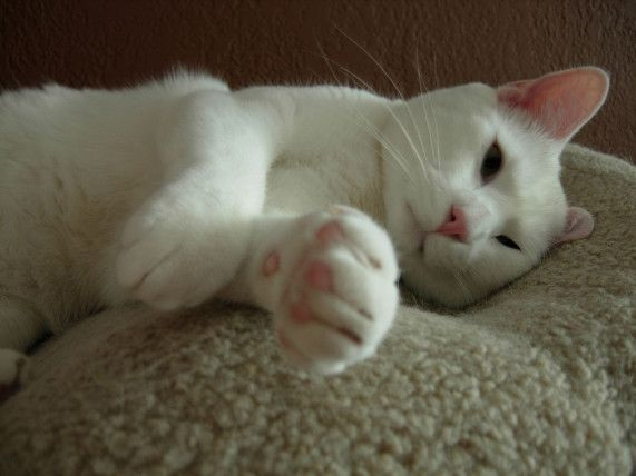Top 3 Most cutest Cat types and Breeds . . American Shorthair  #Cute #Cats #Breeds .