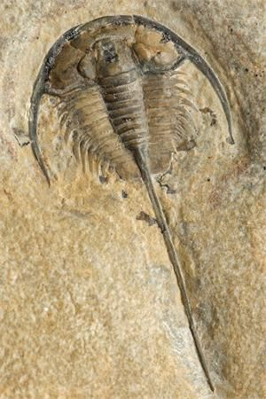 "Identified as ""Trilobite fossil ... Cambrian"" Shape reminds me of a horseshoe crab"