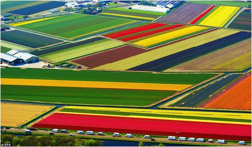 El tulipán fue introducido en los Países Bajos en 1559, procedente de la actual Turquía (en aquel tiempo, Imperio otomano), donde tenía connotaciones sagradas y adornaba los trajes de los sultanes.  Holanda produce un 88% de todos los tulipanes del mundo con una superficie cultivada de 10.800 hectáreas.