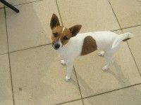 REUNITED!! – Female Mini Jack Russell – Wyndhamvale area VIC