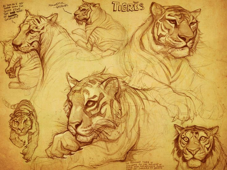 Tiger Sketches, Drew Hill on ArtStation at http://www.artstation.com/artwork/tiger-sketches