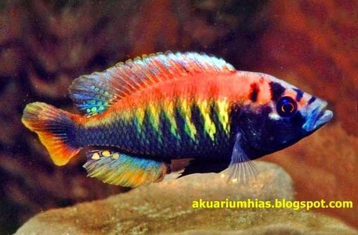 cichlid  Akuarium Ikan Hias