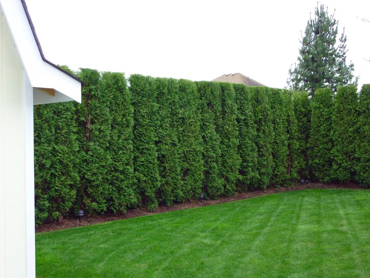 Emerald Cedar Hedge Hedges Landscaping Backyard Garden Design Cedar Hedge