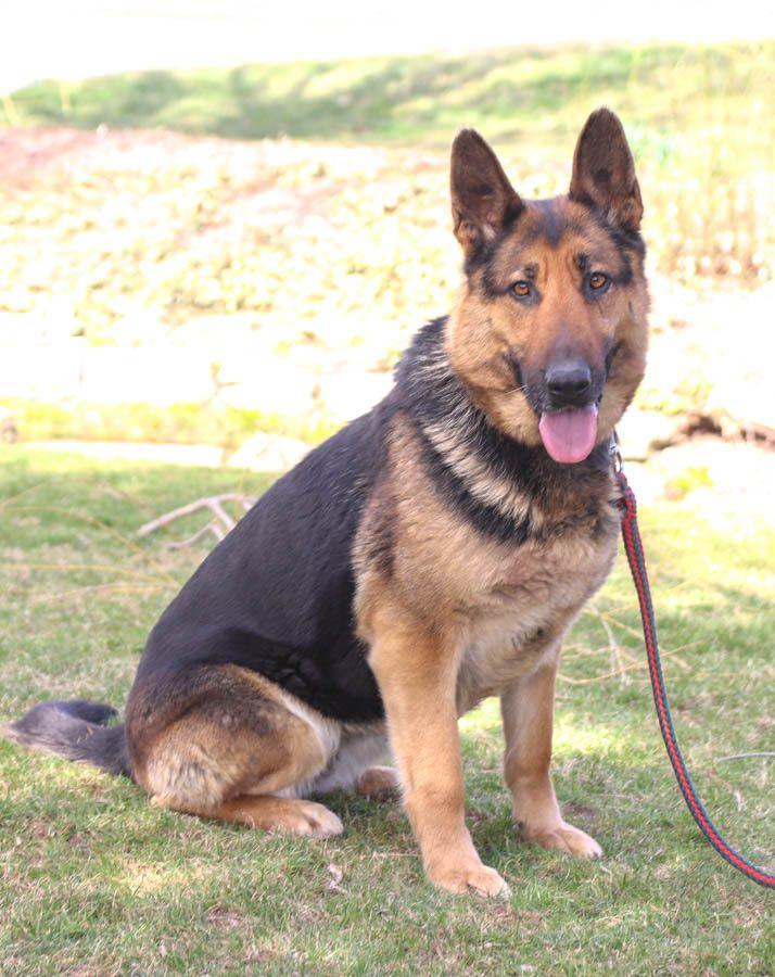 Meet Shasta The Germanshepherd Is A Very Friendly