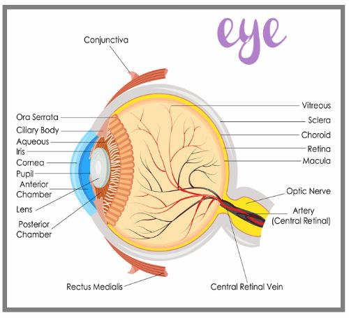 a study of the human eye Eye facts check out these fun eye facts for kids learn how eyes evolved millions of years ago, allowing animals to sense light and have a.