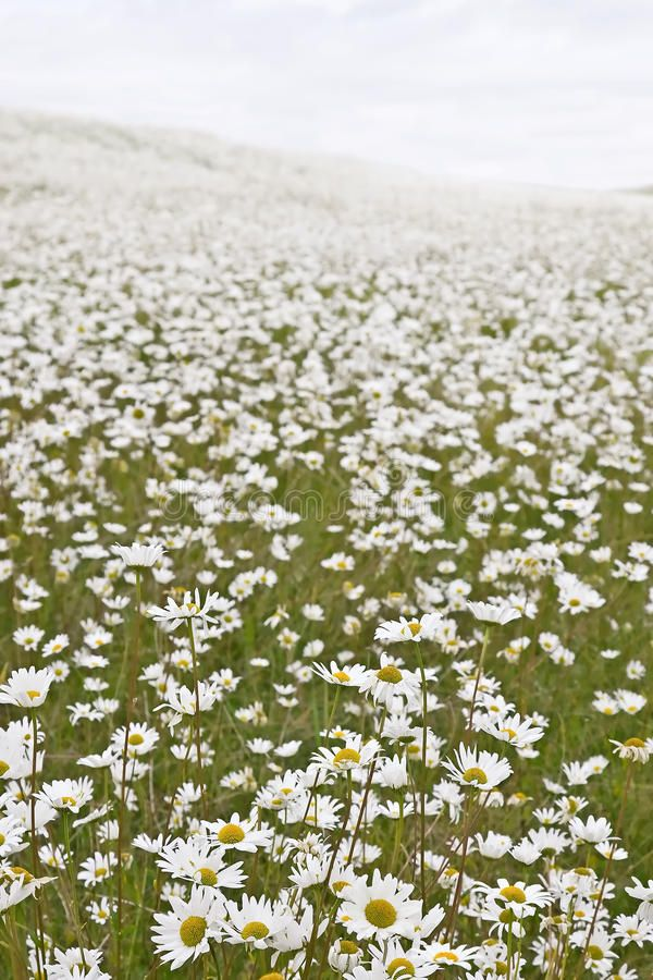 Field Of White Daisies Large Field Of Wild White Daisies Affiliate Daisies Large Field White White Ad Shasta Daisies Flower Field Flower Feild