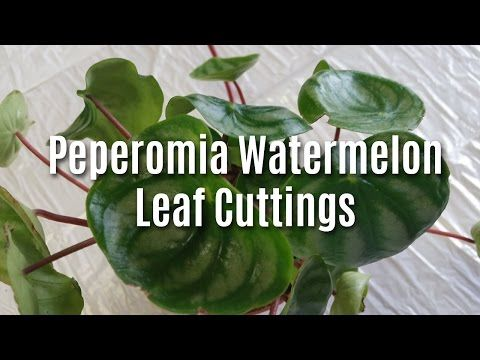 Peperomia Watermelon Leaf Cuttings - YouTube