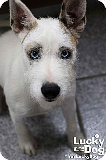 Washington, DC - Standard Schnauzer Mix. Meet Blue Moon, a dog for adoption. http://www.adoptapet.com/pet/16980075-washington-dc-standard-schnauzer-mix