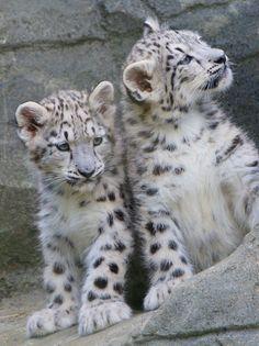 tigersandcompany:    Snow leopard cubs (by Paul..Riley)
