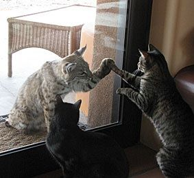 """""""Hey, buddy. Wanna play?"""" -- 2 house cats get-up close to a bobcat in Maricopa County. Check it out on azcentral.com!"""