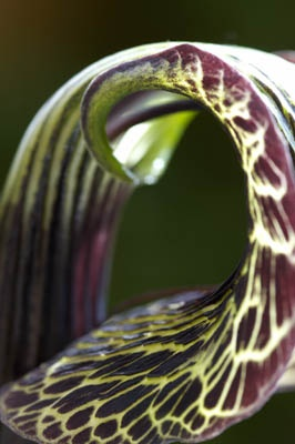 Arisaema griffithii - Professional Garden Photographer's Association Image of the Month, June 2008