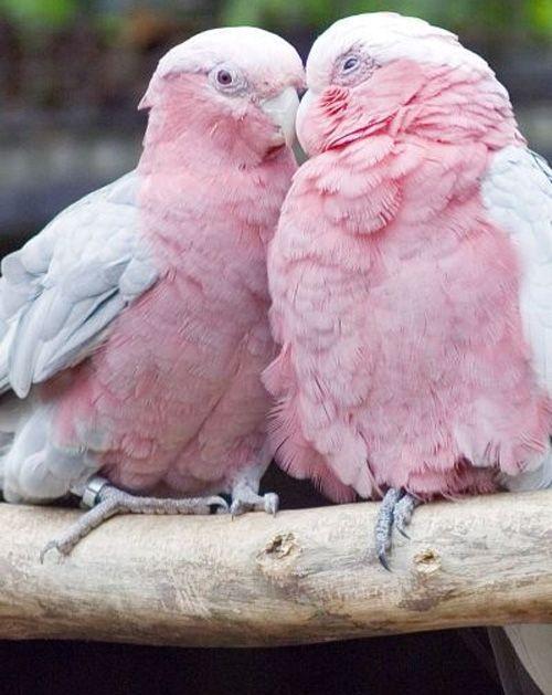 Gorgeous Pink Birds Couple in Australia