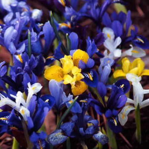 Iris-Dwarf, Mixture,