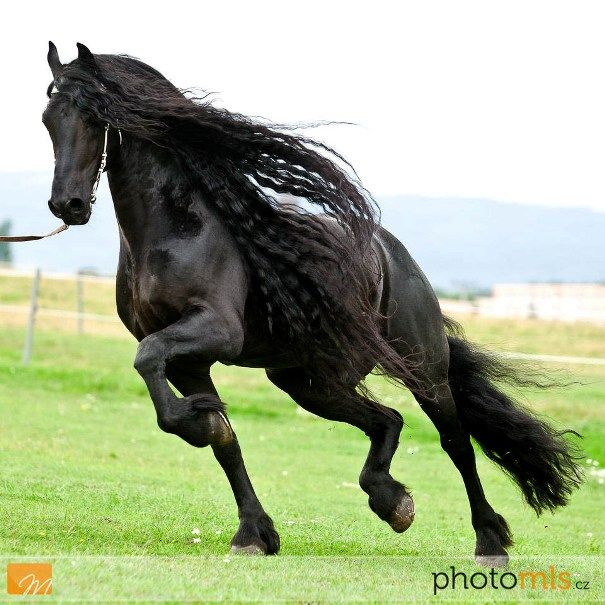 Where Are Friesian Horses From | Goodshapes Friesian horse