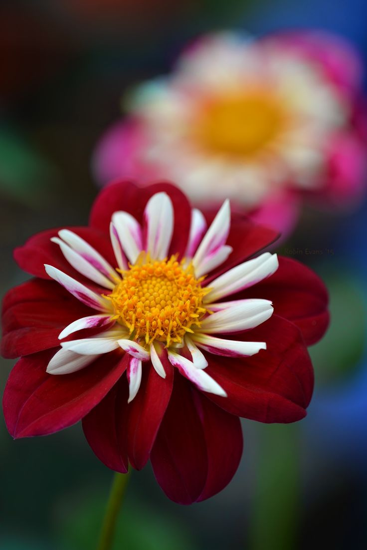 "~~Carmine | Dahlia 'Apopa Cindy' | a rich red collarette dahlia  with 5"" blooms 