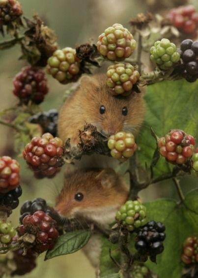 plum and green . field mice