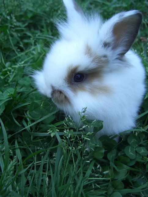 in love with lionhead bunnies