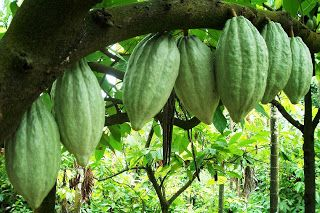 Cocoa bean (also cacao bean, often simply cocoa and cacao; the dried and fully fermented fatty seed of Theobroma cacao, from which cocoa sol...