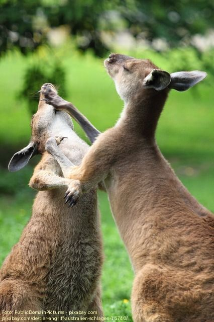 Wild Kangaroos Fight Each Other On Street With Great Style