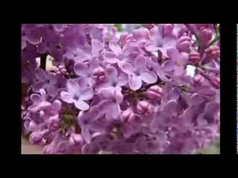 Anastasia Lazariuc   Flori de liliac