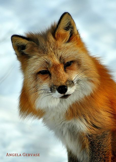 Red fox.. What a beautiful animal... One of my favorite wild animals, second only to the Wolf.
