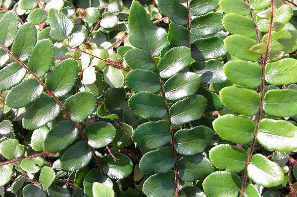 Buy button fern Pellaea rotundifolia: Delivery by Waitrose Garden in association with Crocus