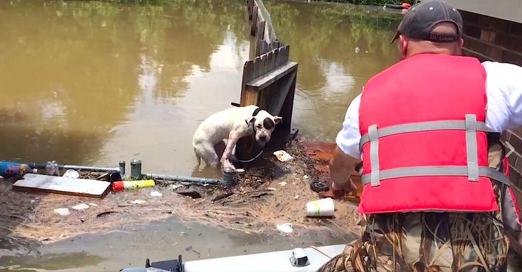 Baton Rouge, aux Etats-Unis a récemment été victime de terribles inondations, et Mike Anderson, un sauveteur volontaire, est bien décidé à sauver autant de vies que faire se peut. Récemment, Mike et son ami Darrell ont ainsi recueilli deux pitbulls, qui ont été séparés de leurs familles, et étaient pris au piège par les inondations. …