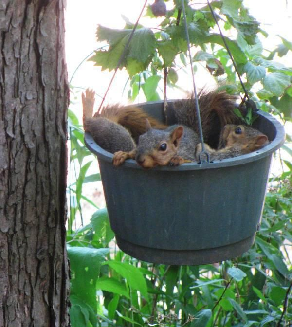 Bucket of Squirrels. {I used to put bird/squirrel food in hanging baskets after the flowers had died. I loved to watch them out my kitchen window. SP}
