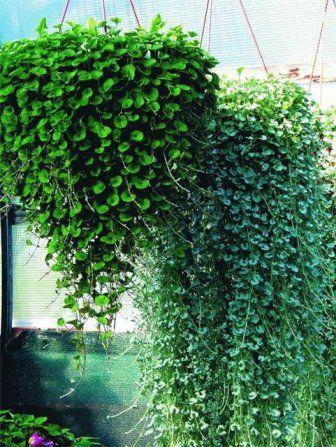 Дихондра серебристая, однолетние растения | ООО Оазис