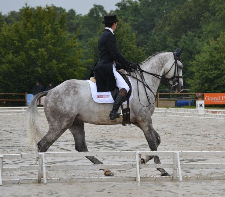 ANGLO-ARABIAN SPORT HORSE ::  QUICKNESS and Mathieu Lemoine