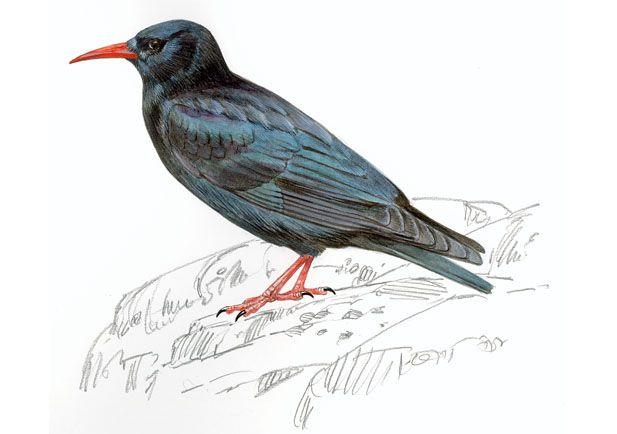 Chova piquirroja Dibujo 1/Chova f. Especie de cuervo. || Corneja, ave.