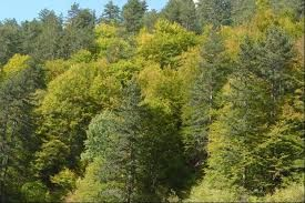 Image result for pine forests