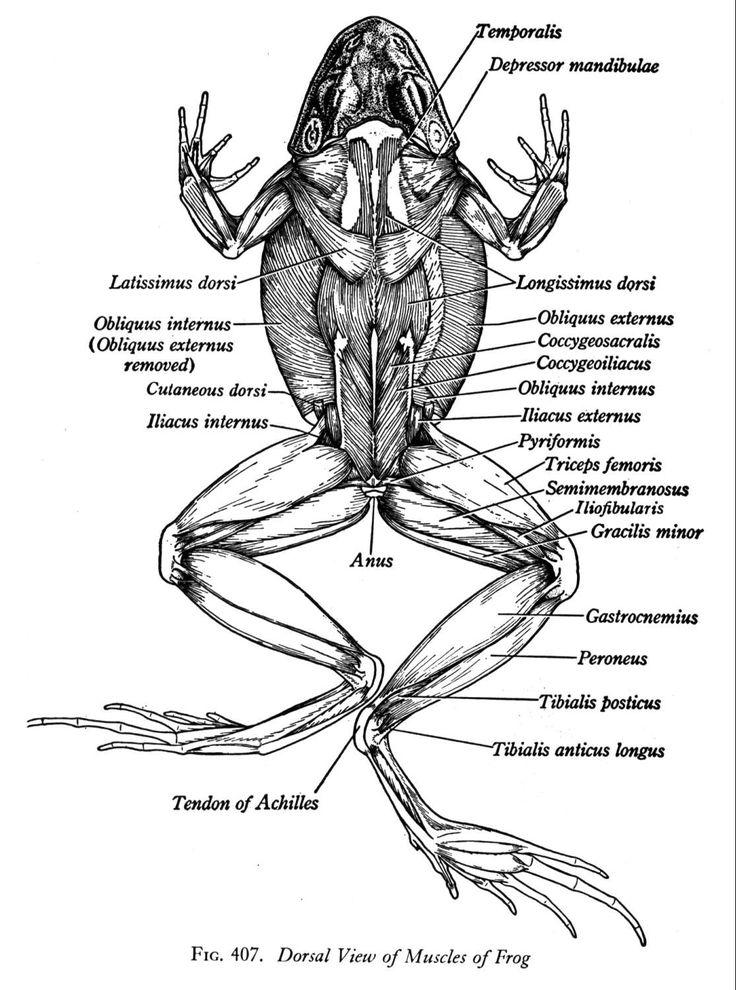 Frog Anatomy Frog Amphibians Frog Dissection