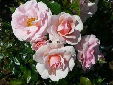 Rose Naming Opportunities KAMILLE ARAYA SUNSHINE (Dicemotion)  Wedding gift