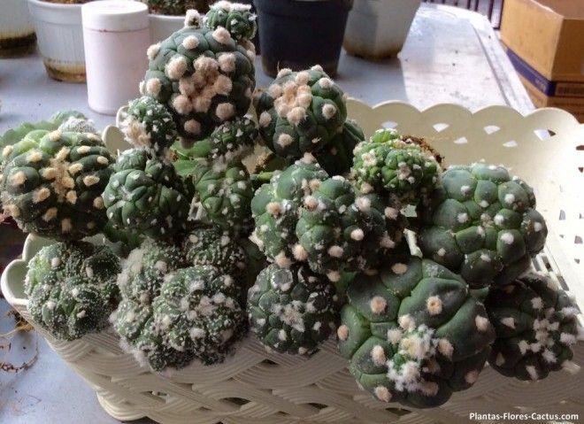 enfermedades de los cactus