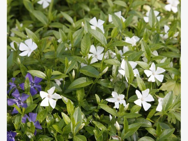 78 besten Garten Pflanzen Bilder auf Pinterest Garten pflanzen - gartenpflanzen winterhart immergrun