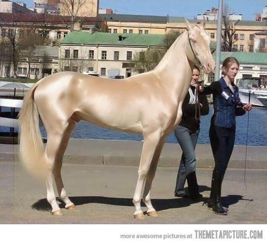 The elegant Akhal-Teke - the metallic sheen of the coat is otherworldly