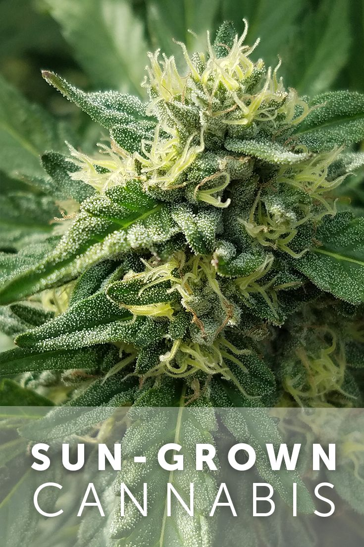Stunning Get the greatest health benefits from you cannabis by switching to sun grown With the greatest exposure to full spectrum light from the sun