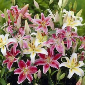 Lily Bulbs For Sale | Buy Flower Bulbs in Bulk & Save