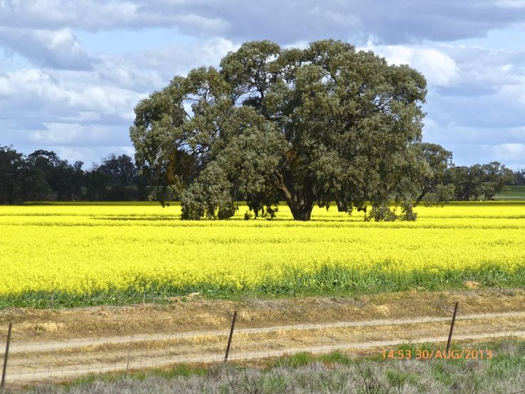 Canola field near Mildura Australia