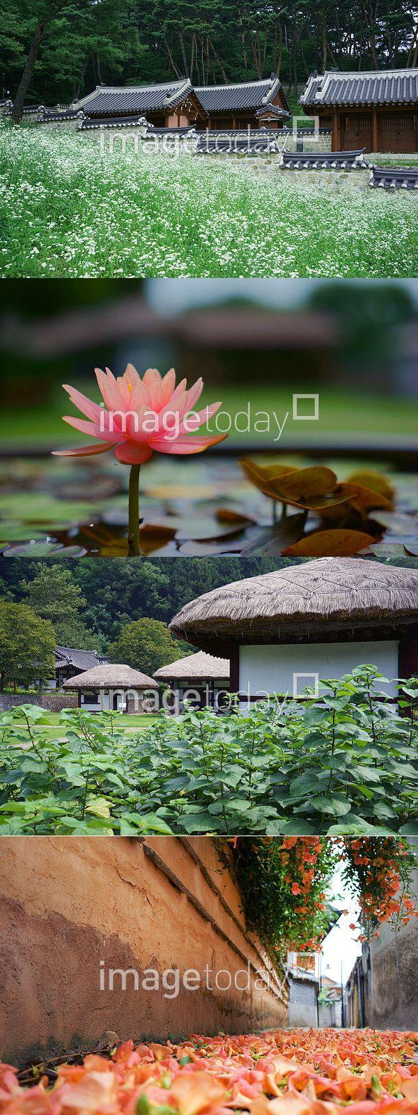 사진 #이미지투데이 #imagetoday #클립아트코리아 #clipartkorea #통로이미지 #tongroimages 국내 꽃 낮 분홍 연꽃 자연 컨셉 한국 경치 실외 아웃포커스 초가집 초가 전통 오래된 나무 여름 담장 골목 noon pink lotus nature concpet korea scenery outside outfocus traditional wood summer fence